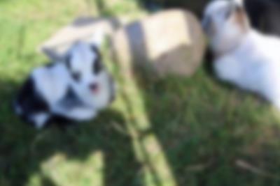 Nye søte geitekillinger til verden i Lalandia